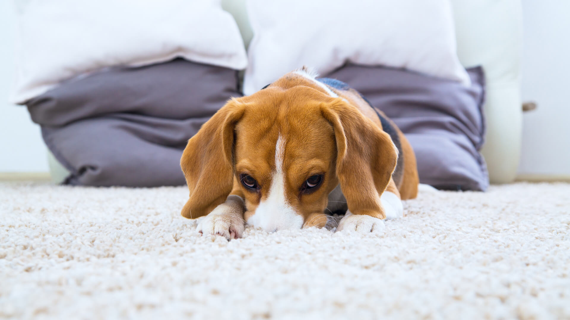 Carpet Cleaners For Pets Reviews